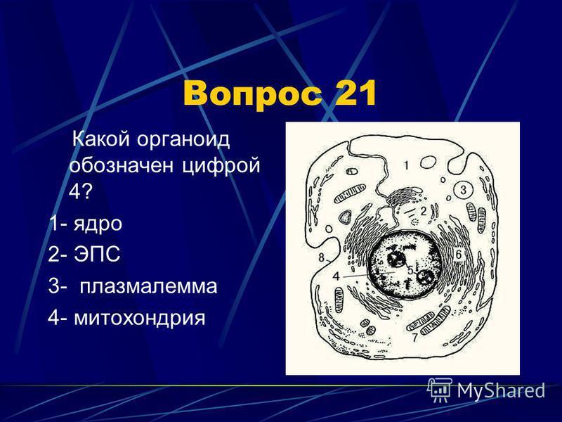 Вопрос 21 Какой органоид обозначен цифрой 4? 1- ядро 2- ЭПС 3- плазмалемма 4- митохондрия