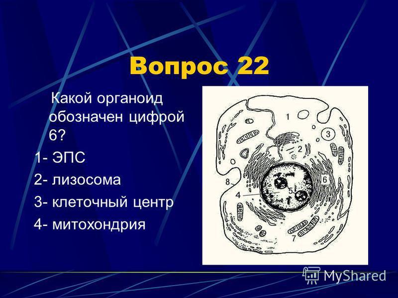 Вопрос 22 Какой органоид обозначен цифрой 6? 1- ЭПС 2- лизосома 3- клеточный центр 4- митохондрия