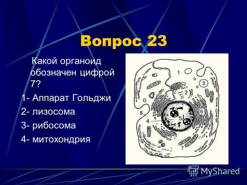Вопрос 23 Какой органоид обозначен цифрой 7? 1- Аппарат Гольджи 2- лизосома 3- рибосома 4- митохондрия