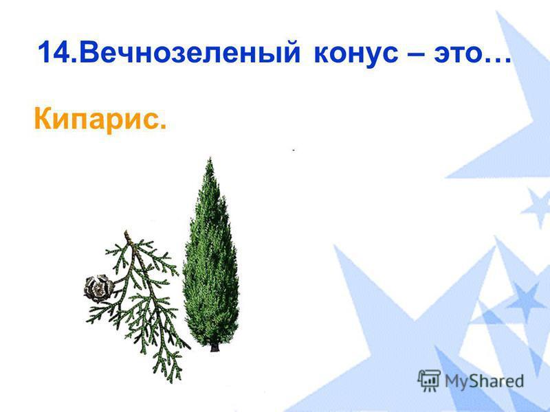 14. Вечнозеленый конус – это… Кипарис.