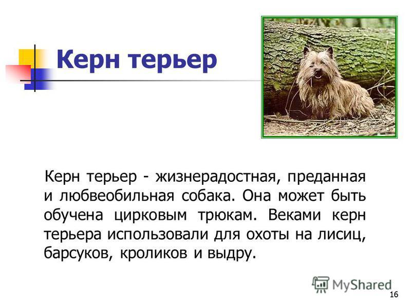 15 Велш терьер Велш терьер - жизнерадостная, независимая, веселая, преданная, послушная и смелая собака. Он может хорошо охранять жилище, исключительно предан хозяину, но несколько робок по отношению к незнакомцам.