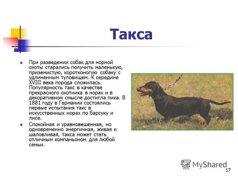 16 Керн терьер Керн терьер - жизнерадостная, преданная и любвеобильная собака. Она может быть обучена цирковым трюкам. Веками керн терьера использовали для охоты на лисиц, барсуков, кроликов и выдру.