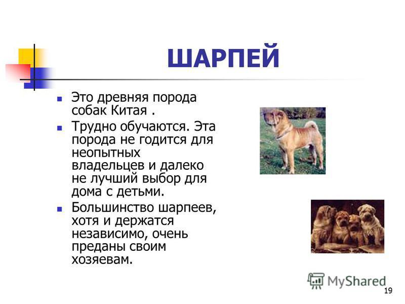 18 Скотч-терьер Если вам нужна компактная сторожевая собака, то лучше, чем скотч-терьер, вам не найти. Собаки этой породы имеют отлично развитый сторожевой инстинкт и громкий