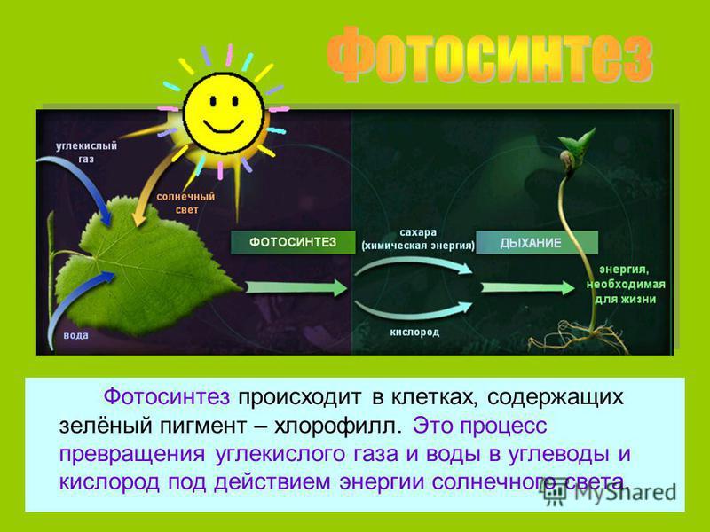 Фотосинтез происходит в клетках, содержащих зелёный пигмент – хлорофилл. Это процесс превращения углекислого газа и воды в углеводы и кислород под действием энергии солнечного света.