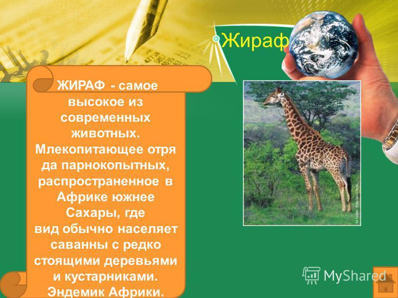 Жираф ЖИРАФ - самое высокое из современных животных. Млекопитающее отряда парнокопытных, распространенное в Африке южнее Сахары, где вид обычно населяет саванны с редко стоящими деревьями и кустарниками. Эндемик Африки.