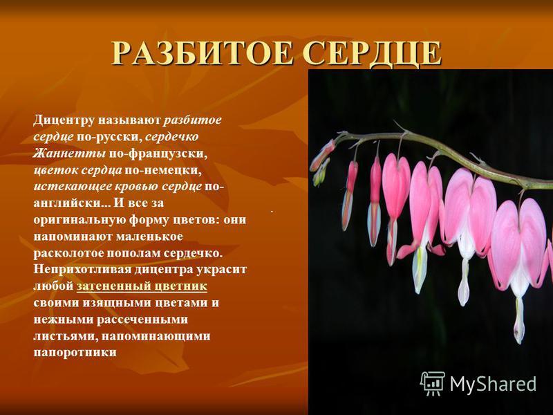 РАЗБИТОЕ СЕРДЦЕ. Дицентру называют разбитое сердце по-русски, сердечко Жаннетты по-французски, цветок сердца по-немецки, истекающее кровью сердце по- английски... И все за оригинальную форму цветов: они напоминают маленькое расколотое пополам сердечк