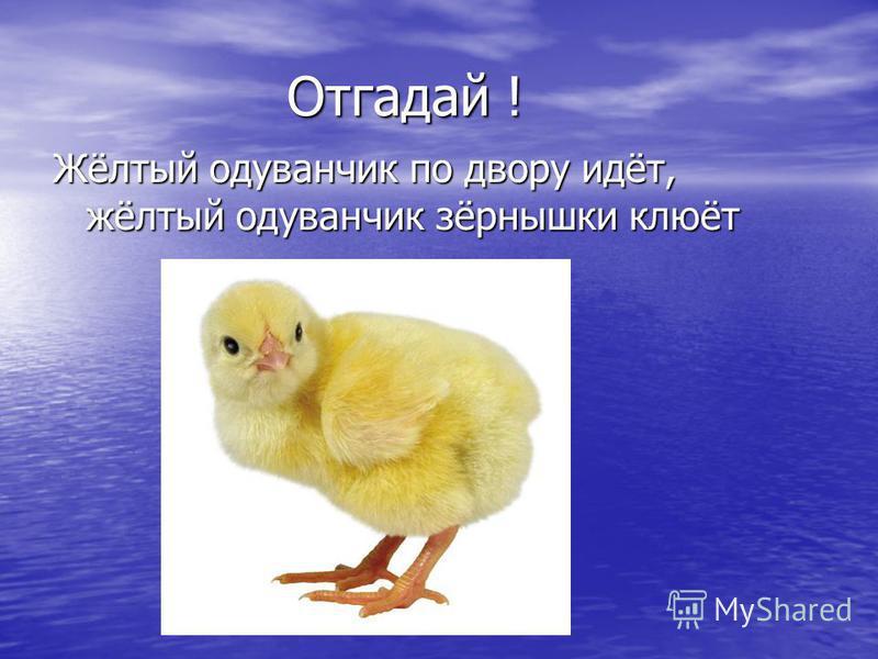 Отгадай ! Жёлтый одуванчик по двору идёт, жёлтый одуванчик зёрнышки клюёт
