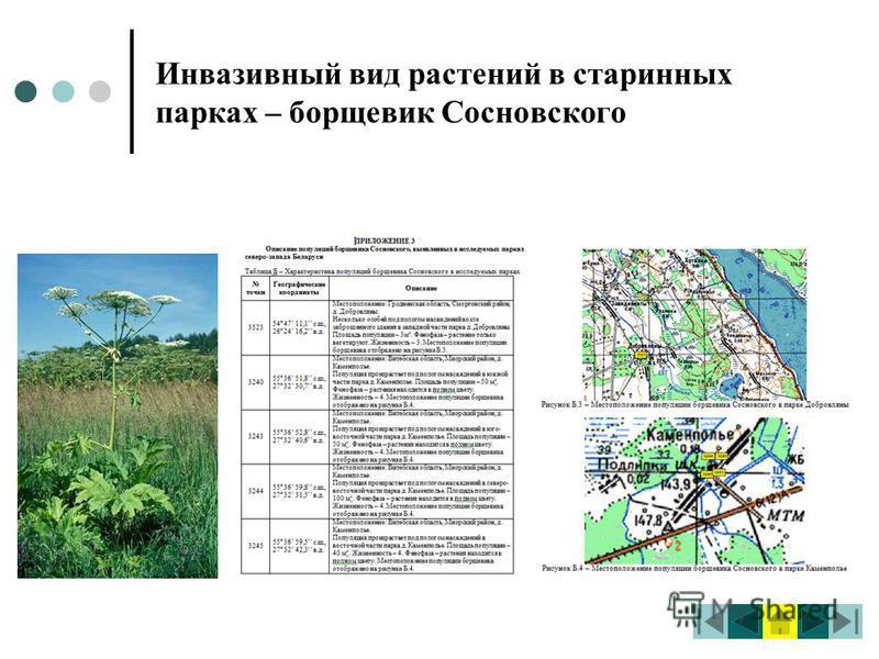 Инвазивный вид растений в старинных парках – борщевик Сосновского