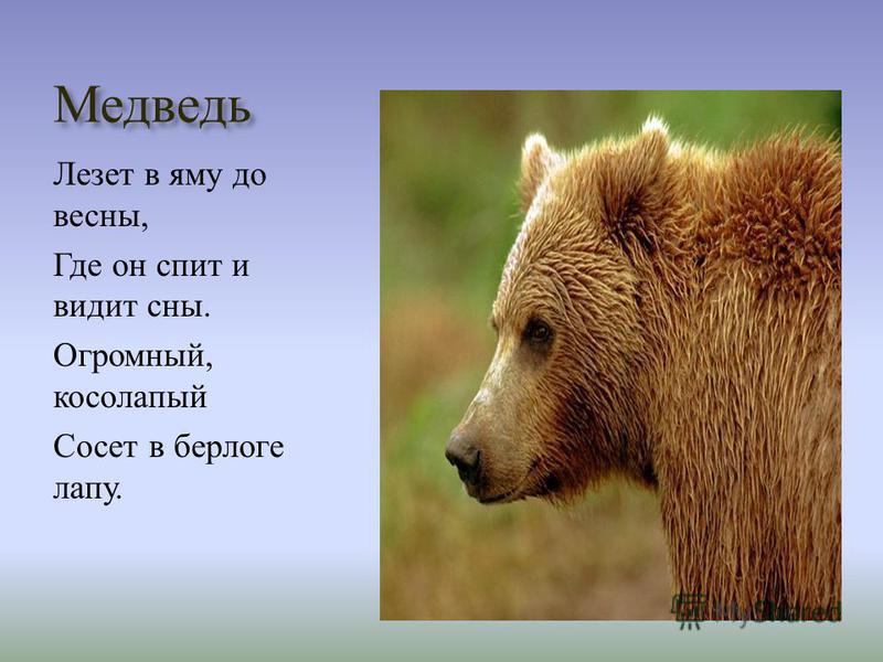 Медведь Лезет в яму до весны, Где он спит и видит сны. Огромный, косолапый Сосет в берлоге лапу.