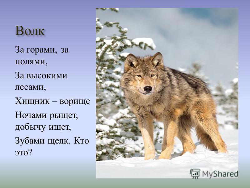 Волк За горами, за полями, За высокими лесами, Хищник – дворище Ночами рыщет, добычу ищет, Зубами щелк. Кто это ?