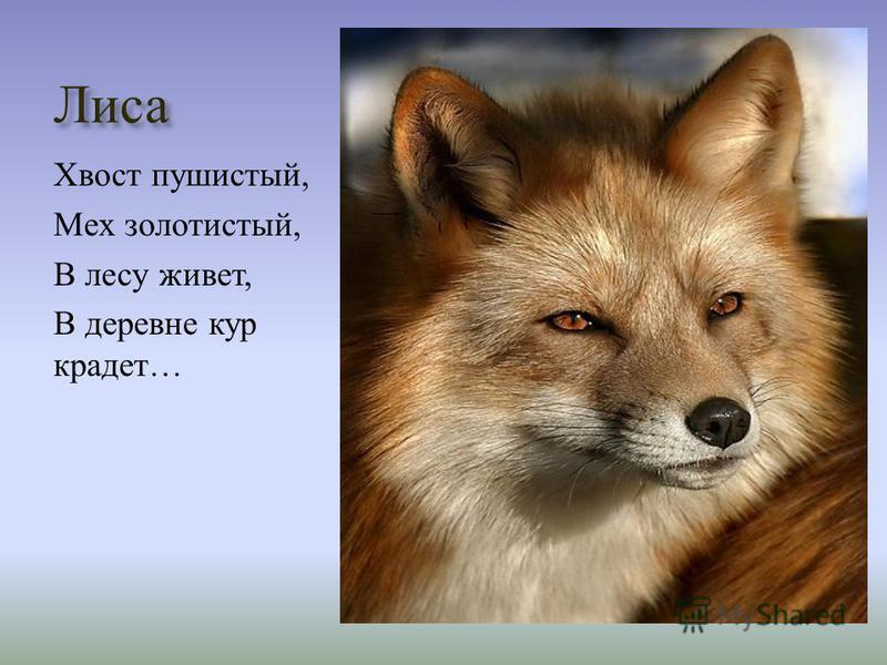Лиса Хвост пушистый, Мех золотистый, В лесу живет, В деревне кур крадет …