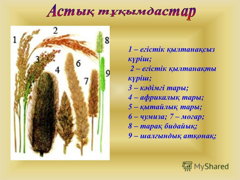 1 – егістік қылтанақсыз күріш; 2 – егістік қылтанақты күріш; 3 – кәдімгі тары; 4 – африкалық тары; 5 – қытайлық тары; 6 – чумиза; 7 – могар; 8 – тарақ бидайық; 9 – шалғындық атқонақ;