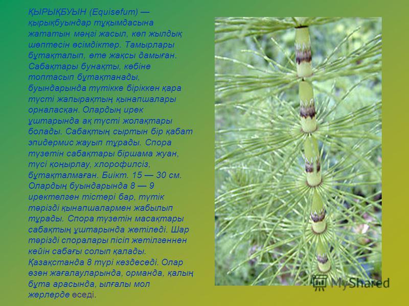 ҚЫРЫҚБУЫН (Equіsefum) қырықбуындар тұқымдасына жататын мәңгі жасыл, көп жылдық шөптесін өсімдіктер. Тамырлары бұтақталып, өте жақсы дамыған. Сабақтары бунақты, көбіне топтасып бұтақтанады, буындарында түтікке біріккен қара түсті жапырақтың қынапшалар