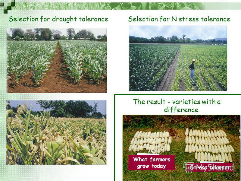 C I M M Y T MR International Maize and Wheat Improvement Center Selection for drought toleranceSelection for N stress tolerance What farmers grow today Stress tolerant The result - varieties with a difference