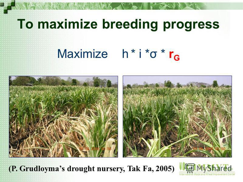 C I M M Y T MR International Maize and Wheat Improvement Center To maximize breeding progress Maximize h * i *σ * r G (P. Grudloymas drought nursery, Tak Fa, 2005)