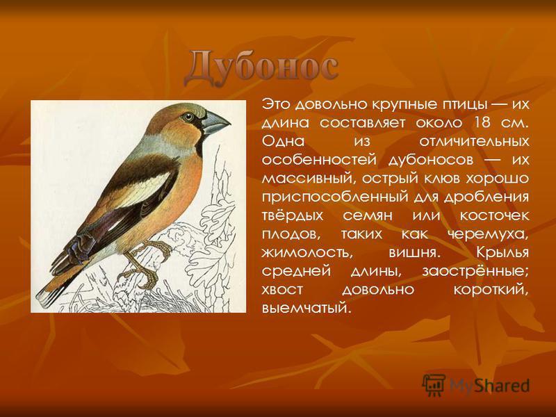 Это довольно крупные птицы их длина составляет около 18 см. Одна из отличительных особенностей дубоносов их массивный, острый клюв хорошо приспособленный для дробления твёрдых семян или косточек плодов, таких как черемуха, жимолость, вишня. Крылья ср