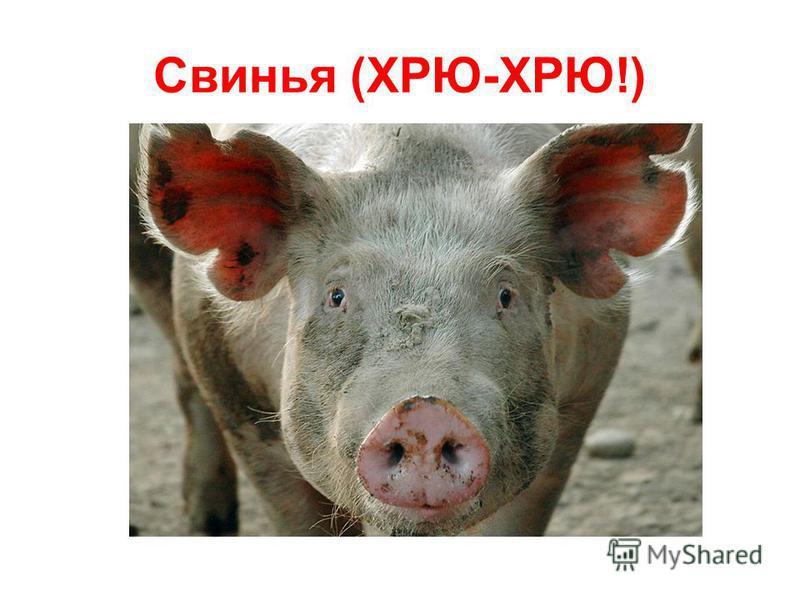 Свинья (ХРЮ-ХРЮ!)