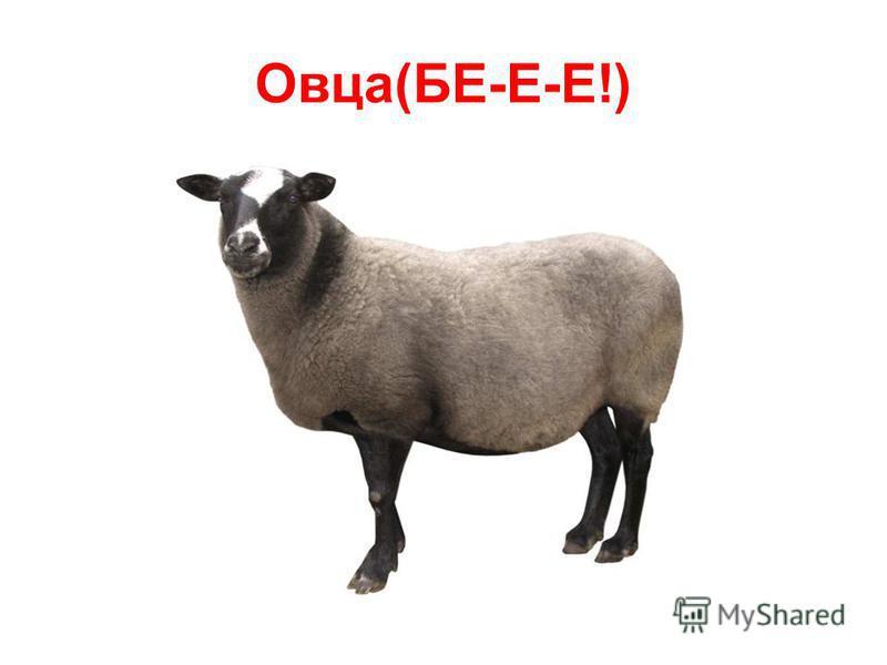 Овца(БЕ-Е-Е!)