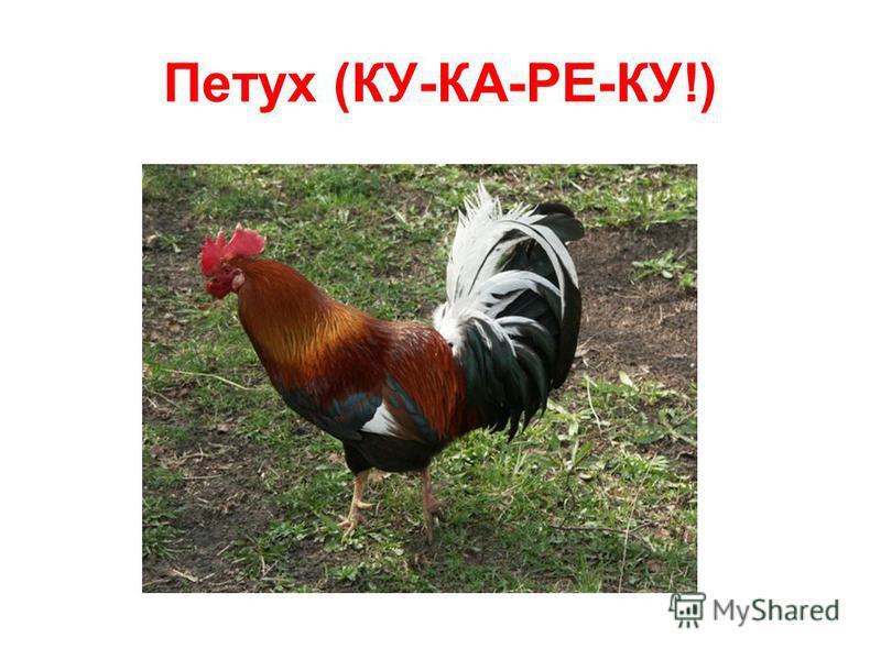 Петух (КУ-КА-РЕ-КУ!)