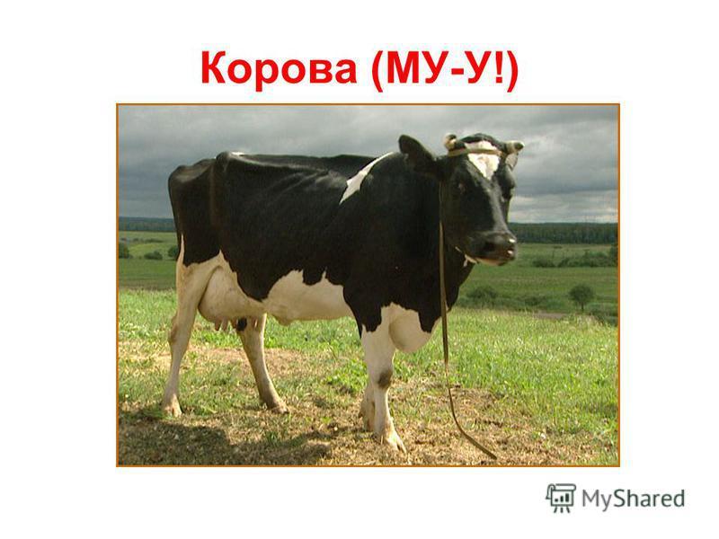 Корова (МУ-У!)