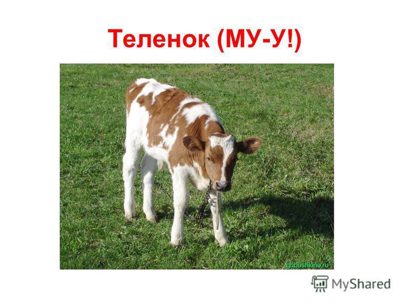 Теленок (МУ-У!)