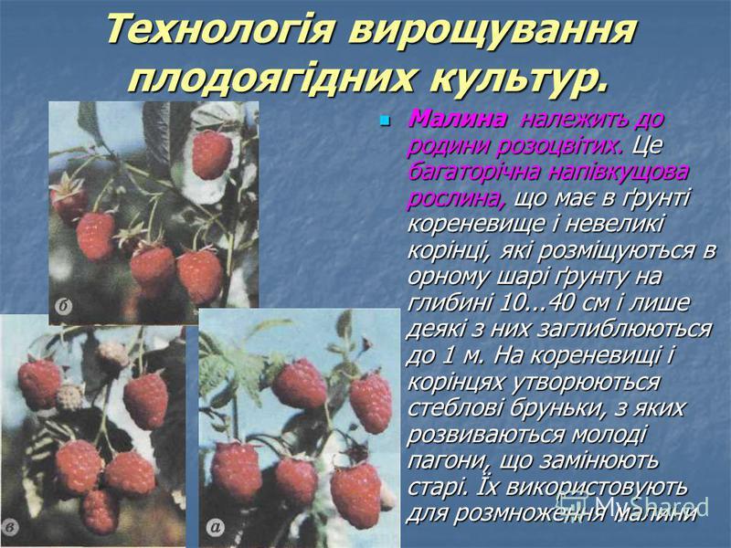 Малина належить до родини розоцвітих. Це багаторічна напівкущова рослина, що має в ґрунті кореневище і невеликі корінці, які розміщуються в орному шарі ґрунту на глибині 10...40 см і лише деякі з них заглиблюються до 1 м. На кореневищі і корінцях утв
