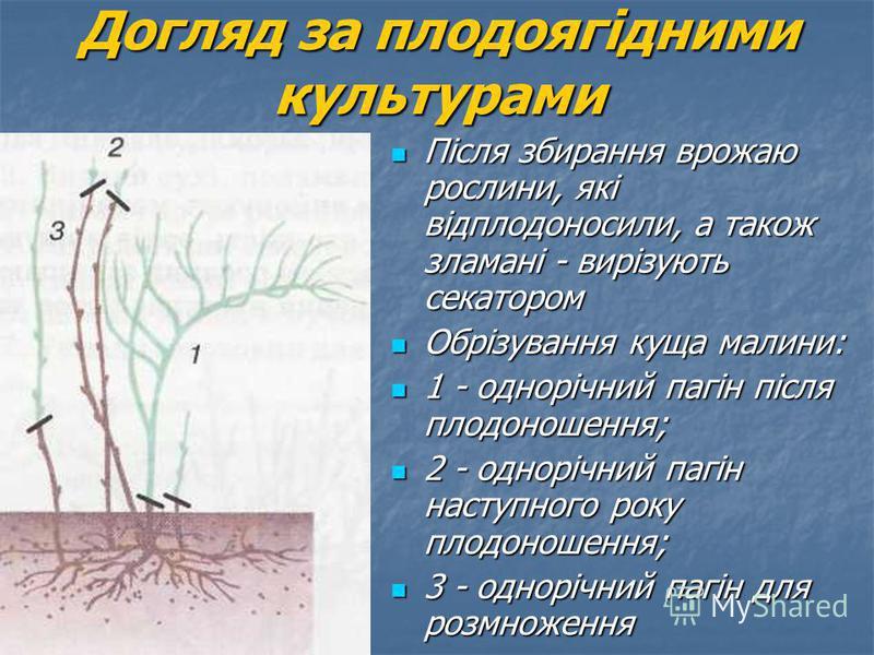 Після збирання врожаю рослини, які відплодоносили, а також зламані - вирізують секатором Після збирання врожаю рослини, які відплодоносили, а також зламані - вирізують секатором Обрізування куща малини: Обрізування куща малини: 1 - однорічний пагін п