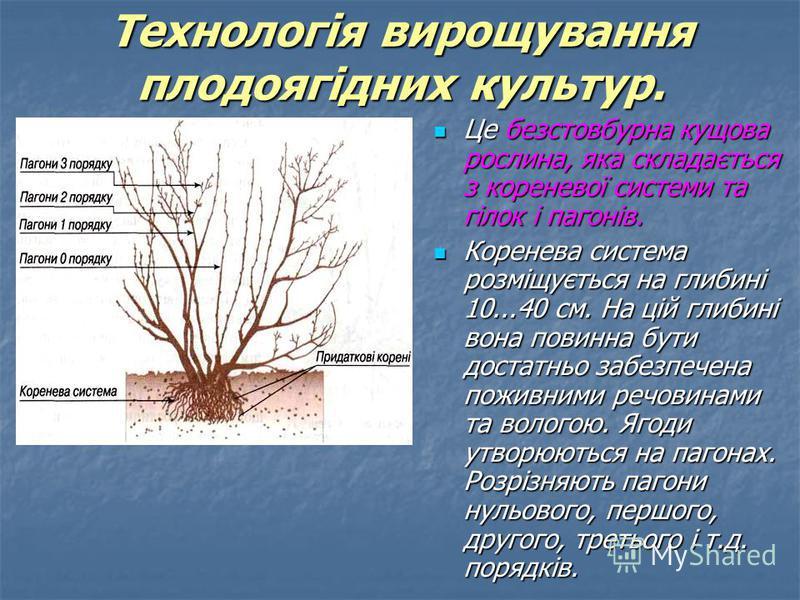 Це безстовбурна кущова рослина, яка складається з кореневої системи та гілок і пагонів. Це безстовбурна кущова рослина, яка складається з кореневої системи та гілок і пагонів. Коренева система розміщується на глибині 10...40 см. На цій глибині вона п