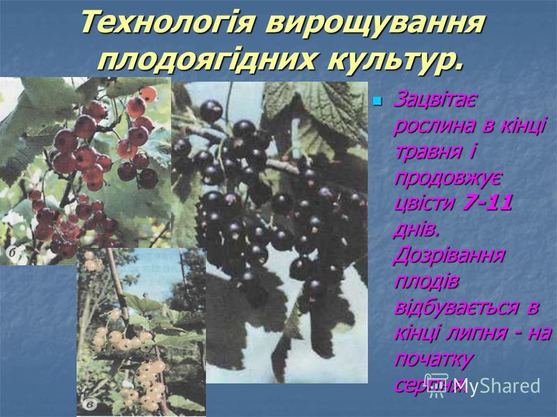 Зацвітає рослина в кінці травня і продовжує цвісти 7-11 днів. Дозрівання плодів відбувається в кінці липня - на початку серпня. Зацвітає рослина в кінці травня і продовжує цвісти 7-11 днів. Дозрівання плодів відбувається в кінці липня - на початку се