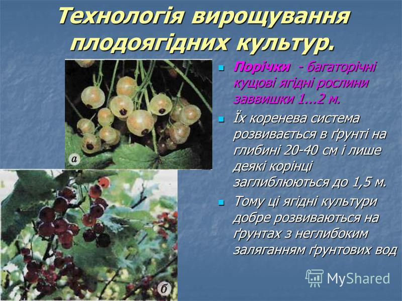 Порічки - багаторічні кущові ягідні рослини заввишки 1...2 м. Порічки - багаторічні кущові ягідні рослини заввишки 1...2 м. Їх коренева система розвивається в ґрунті на глибині 20-40 см і лише деякі корінці заглиблюються до 1,5 м. Їх коренева система