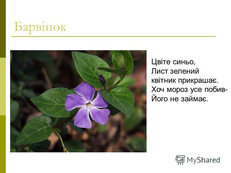 Барвінок Цвіте синьо, Лист зелений квітник прикрашає. Хоч мороз усе побив- Його не займає.