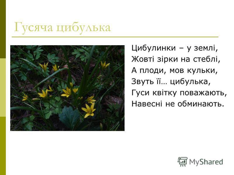 Гусяча цибулька Цибулинки – у землі, Жовті зірки на стеблі, А плоди, мов кульки, Звуть її… цибулька, Гуси квітку поважають, Навесні не обминають.