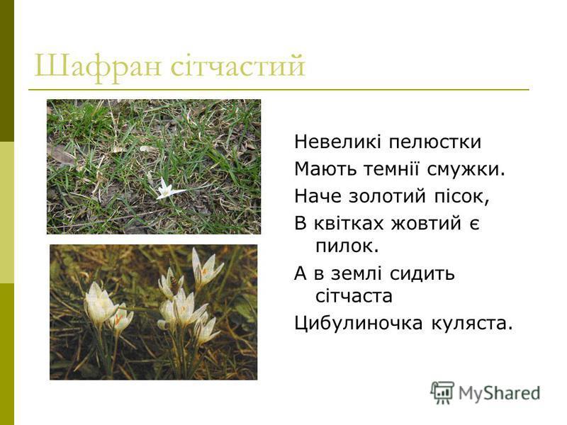 Шафран сітчастий Невеликі пелюстки Мають темнії смужки. Наче золотий пісок, В квітках жовтий є пилок. А в землі сидить сітчаста Цибулиночка куляста.