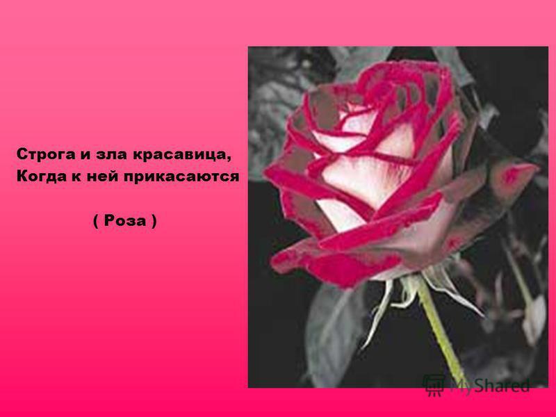 Строга и зла красавица, Когда к ней прикасаются ( Роза )