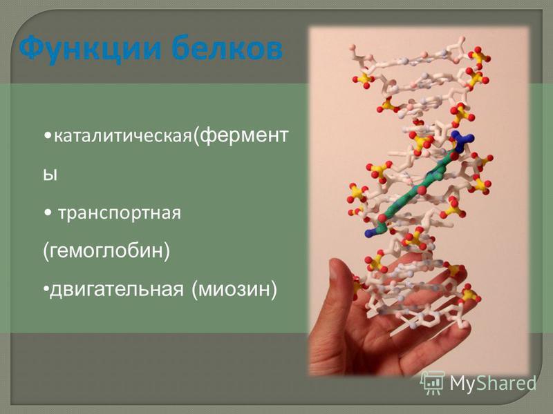 Функции белков каталитическая (фермент ы транспортная (гемоглобин) двигательная (миозин)