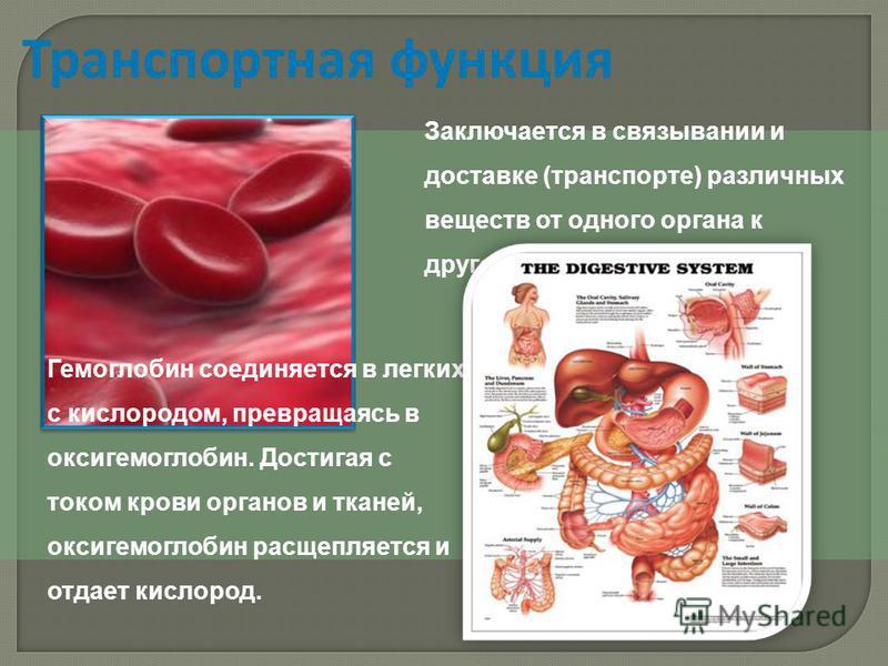 Транспортная функция Гемоглобин соединяется в легких с кислородом, превращаясь в оксигемоглобин. Достигая с током крови органов и тканей, оксигемоглобин расщепляется и отдает кислород. Заключается в связывании и доставке (транспорте) различных вещест