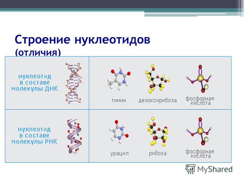 Строение нуклеотидов (отличия)