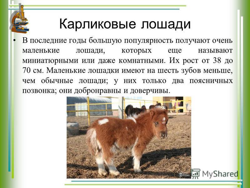 Карликовые лошади В последние годы большую популярность получают очень маленькие лошади, которых еще называют миниатюрными или даже комнатными. Их рост от 38 до 70 см. Маленькие лошадки имеют на шесть зубов меньше, чем обычные лошади; у них только дв