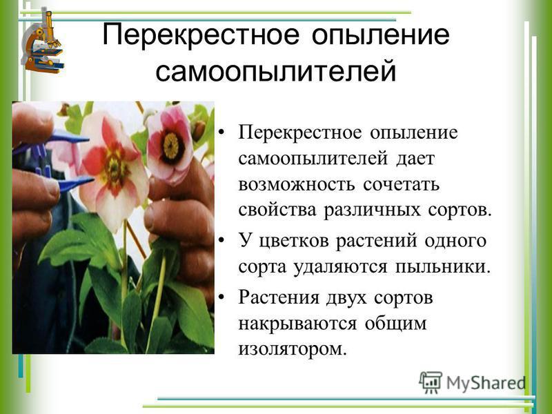 Перекрестное опыление самоопылителей Перекрестное опыление самоопылителей дает возможность сочетать свойства различных сортов. У цветков растений одного сорта удаляются пыльники. Растения двух сортов накрываются общим изолятором.