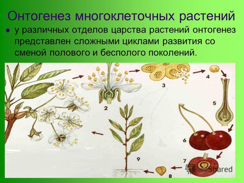 у различных отделов царства растений онтогенез представлен сложными циклами развития со сменой полового и бесполого поколений. Онтогенез многоклеточных растений