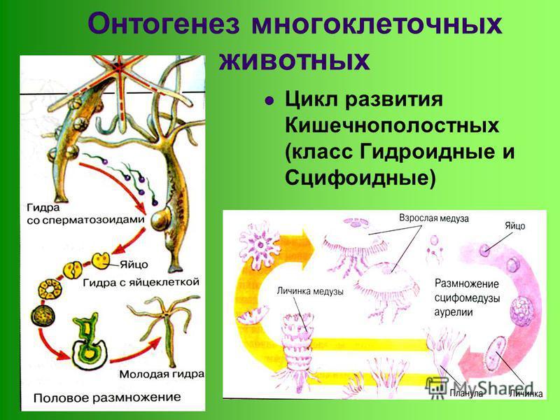 Онтогенез многоклеточных животных Цикл развития Кишечнополостных (класс Гидроидные и Сцифоидные)