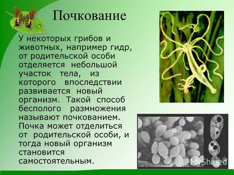 Почкование У некоторых грибов и животных, например гидр, от родительской особи отделяется небольшой участок тела, из которого впоследствии развивается новый организм. Такой способ бесполого размножения называют почкованием. Почка может отделиться от