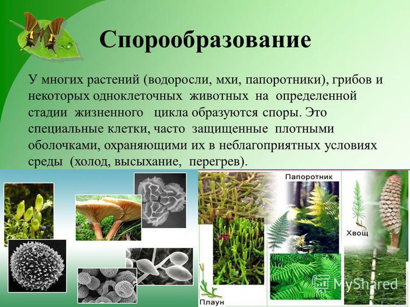 Спорообразование У многих растений (водоросли, мхи, папоротники), грибов и некоторых одноклеточных животных на определенной стадии жизненного цикла образуются споры. Это специальные клетки, часто защищенные плотными оболочками, охраняющими их в небла