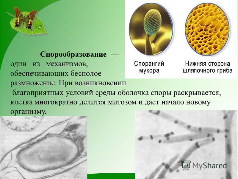 Спорообразование один из механизмов, обеспечивающих бесполое размножение. При возникновении благоприятных условий среды оболочка споры раскрывается, клетка многократно делится митозом и дает начало новому организму.