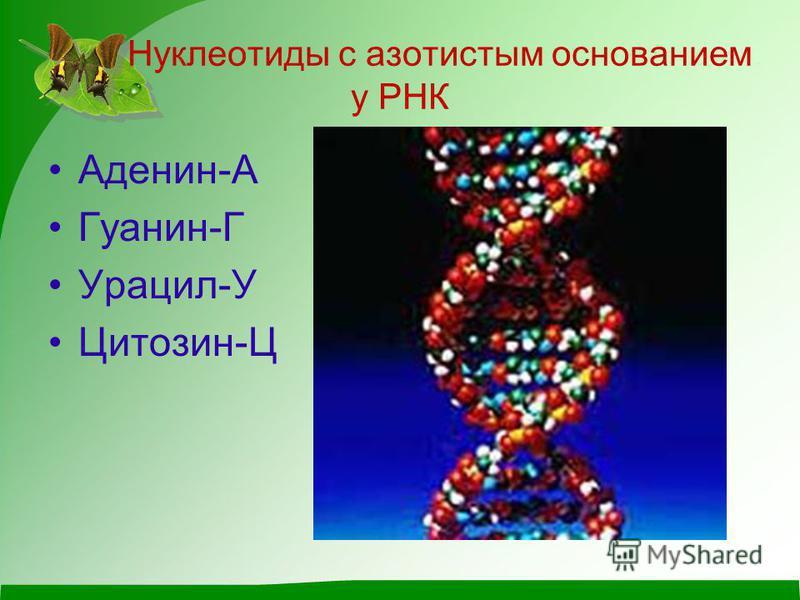Нуклеотиды с азотистым основанием у РНК Аденин-А Гуанин-Г Урацил-У Цитозин-Ц