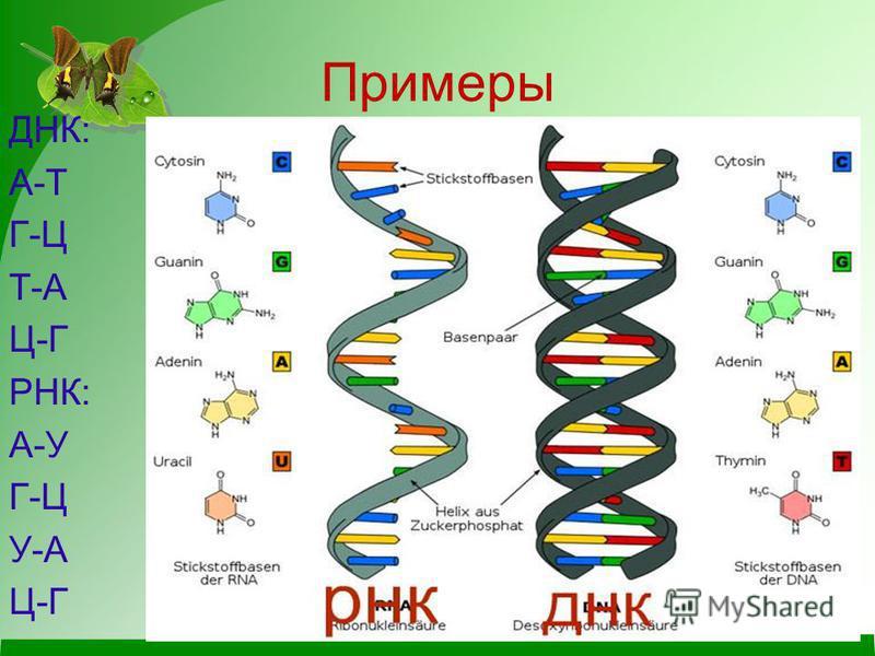 Примеры ДНК: А-Т Г-Ц Т-А Ц-Г РНК: А-У Г-Ц У-А Ц-Г
