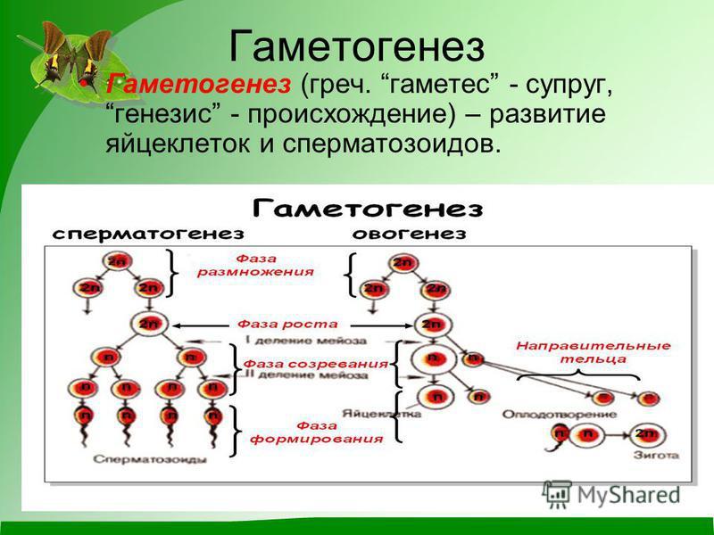 Гаметогенез Гаметогенез (греч. гаметес - супруг, генезис - происхождение) – развитие яйцеклеток и сперматозоидов.