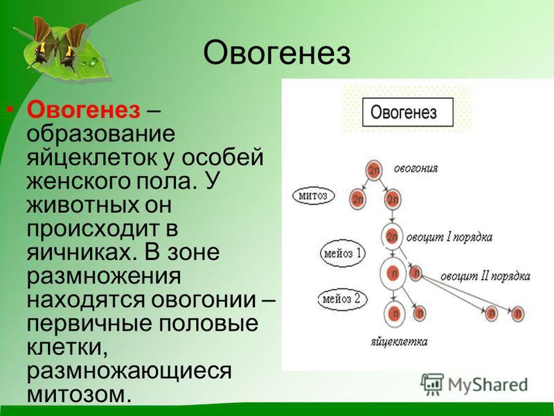 Овогенез Овогенез – образование яйцеклеток у особей женского пола. У животных он происходит в яичниках. В зоне размножения находятся овогонии – первичные половые клетки, размножающиеся митозом.