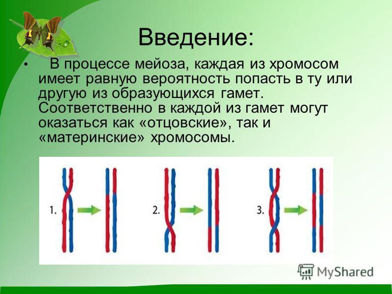 Введение: В процессе мейоза, каждая из хромосом имеет равную вероятность попасть в ту или другую из образующихся гамет. Соответственно в каждой из гамет могут оказаться как «отцовские», так и «материнские» хромосомы.