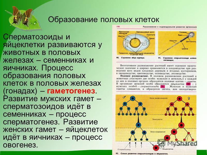 Образование половых клеток Сперматозоиды и яйцеклетки развиваются у животных в половых железах – семенниках и яичниках. Процесс образования половых клеток в половых железах (гонадах) – гаметогенез. Развитие мужских гамет – сперматозоидов идёт в сем